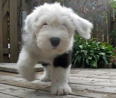 Mika the Old English Sheepdog Pictures 712518
