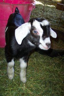 baby goat from Soledad Goat Farm