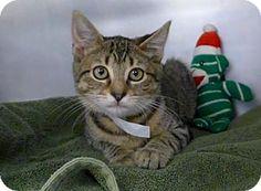 Westampton, NJ - Domestic Shorthair. Meet Tammy 32011906, a kitten for adoption. http://www.adoptapet.com/pet/16328847-westampton-new-jersey-kitten