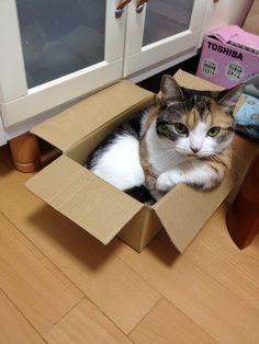 Calico tabby in a box!