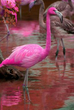 Flamingos are a coral-red-pink yes, but not this hot pink colour. Anyway, for people who aren't aware of this, can't you tell by the pink water? Share this and stop the Photoshopping! Pretty Birds, Love Birds, Beautiful Birds, Animals Beautiful, Cute Animals, Exotic Birds, Colorful Birds, Kinds Of Birds, Pink Bird