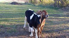 Calves  (cell photo by Trisha)