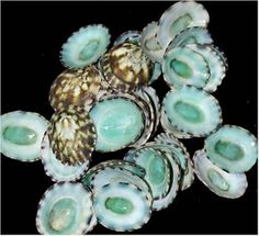 Blue Green Limpet Seashells  These are an extremely popular seashell used in Sailors Valentines and craft work