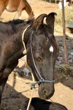 Лошадь. Camel fair, Пушкар. Раджастан, Индия.