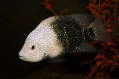 Hericthys cyanoguttatus, Texas cichlids male