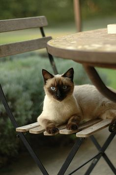 siamese / The Cats Meow. Pretty Cats, Beautiful Cats, Animals Beautiful, Cute Animals, Pretty Kitty, I Love Cats, Crazy Cats, Cool Cats, Siamese Cats