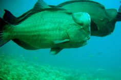 Green Humphead Parrotfishes at Surin Islands Thailand   Endless Wildlife