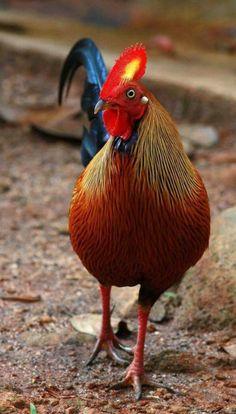 Extraordinary Chickens roosters, Sri Lanka Junglefowl, Gallus lafayetii - Rainbow or colors, red and yellow combs. Fancy Chickens, Chickens And Roosters, Chickens Backyard, Pretty Birds, Beautiful Birds, Animals Beautiful, Exotic Birds, Colorful Birds, Farm Animals
