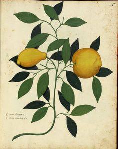 Ulisse Aldrovandi (1522 -1605)  Citrus limon (L.) Burm.f.