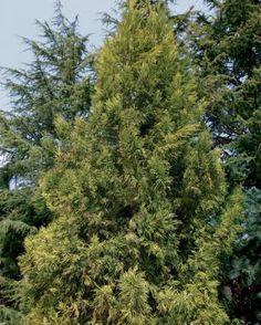 Fast-Growing Trees for Impatient Gardeners | Fine Gardening