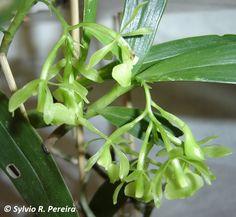 Epidendrum addae
