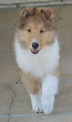 I want one!! Chelsea Collies in California