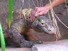 Komodo Dragon Chameleons, Lizards, Exotic Animals, Exotic Pets, National Geographic Videos, Komodo Dragons, Geckos, Amber, Angels