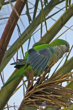 Monk Parakeet a common bird in urban areas and very much part of our region's avifauna Monk Parakeet, Bird Guides, Information About Birds, Common Birds, Andalucia, Months In A Year, Bird Watching, Horses, Urban