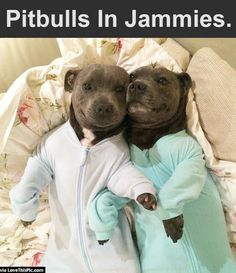 Pitbulls In Jammies cute animals dogs adorable dog puppy animal pets funny animals funny pets pitbull funny dogs pit bulls