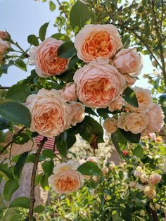 Flower Arrangements, Beautiful Roses, All Flowers, Pretty Flowers, Planting Flowers, Climbing Roses, Most Beautiful Flowers, Love Flowers, Rose Garden Landscape