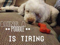 Cute sleepy miniature poodle dog