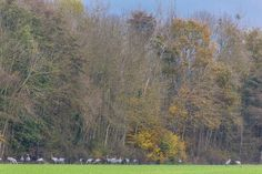 En ja, daar staan er een paar: kraanvogels. #willemlaros.nl #fotograaf #reisfotografie #reisblog #reizen #reisjournalist #fotoworkshop #landschapsfotografie #redacteur #flickr #fbp #500px #lacduder #kraanvogels