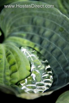 """Rhino Hide"" Hosta - hosta with thick leaves are more slug resistant!"