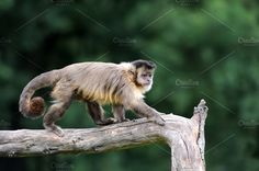 Monkey Photos White capuchin monkey on a branch in nature by byrdyak