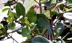 The parrots will learn how to live on their own before they are released, and conservationists are hoping they'll establish a third population of Puerto Rican parrots.