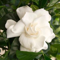 #HappyBirthday to our June plant lovers!   (Shown: First Love Gardenia zones 8-11)