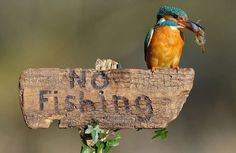 No fishing, that includes you little kingfisher!