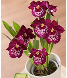 Bunches Miltonia Orchid Plant #bunchesuk I recently acquired this one :)