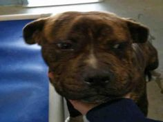 THEO - URGENT - ROWAN COUNTY ANIMAL SHELTER in Salisbury, NC - ADOPT OR FOSTER - Young Male Pit Bull Terrier