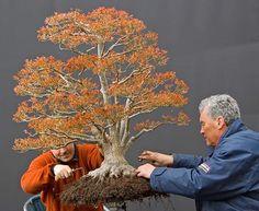 Kiohime Maple bonsai by Walter Pall Pruning Japanese Maples, Japanese Maple Bonsai, Japanese Tree, Bonsai Plants, Bonsai Garden, Garden Trees, Zen, Arce Palmatum, Bonsai Nursery