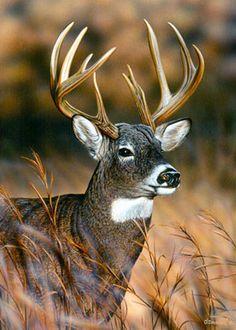 white tail buck - Google Search