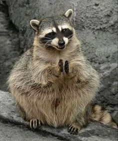 Adorable Raccoon do more than just roam in the trash… They also make funny memes! Raccoon is really a cute animal, isn't it? Check out the funny raccoon meme below that will make you laugh right now. Cute Raccoon, Racoon, Raccoon Animal, Rocky Raccoon, Funny Animal Pictures, Cute Funny Animals, Tier Fotos, Animal Memes, Animals Beautiful
