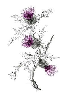 Scottish Thistle Flower and color scheme idea Gälische Tattoo, Gaelic Tattoo, Botanical Drawings, Botanical Illustration, Botanical Prints, Scotland Tattoo, Scottish Thistle Tattoo, Thistle Flower, Thistle Bouquet