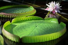 The Victoria Water Lily