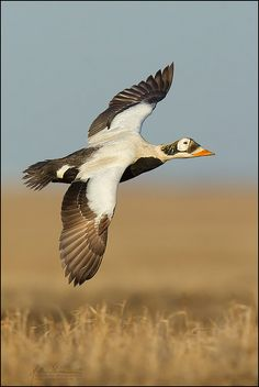 spectacled eider  (photos by studebakerbirds)
