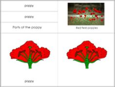 This is a great way to incorporate Remembrance Day into your science lessons.This is a 10 part advance nomenclature unit.Total 20 cards, 20 labels, 10 description cards, and a set of of black line masters included in this unit.  Bonus:  Seven colourful pictures of different parts of the poppy  Three poppy varieties      Instructions: Print on card stock separate the cards and labels and laminate.