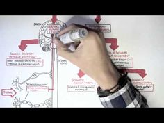 Neurology - Divisions of the Nervous System (+playlist) VIDEO Neuromuscular Junction, Junior Doctor, Muscle And Nerve, Spine Surgery, Teaching Channel, Autonomic Nervous System, Human Anatomy And Physiology, Skeletal Muscle, Science