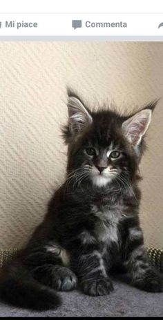 68 Super ideas cats and kittens pictures maine coon Pretty Cats, Beautiful Cats, Cute Kittens, Cats And Kittens, Siberian Cats For Sale, Video Chat, Maine Coon Kittens, Photo Chat, Norwegian Forest Cat