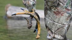 Whitetail Shed Hunting Tips