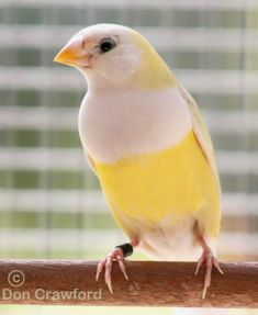 Australian Yellow Gouldian                           Would make lovely colors in a room.