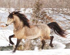 Midas - welsh cob stallion
