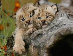 Two lynx kittens sticking their heads out of hollow log in field of hawkweed by Howard Penn