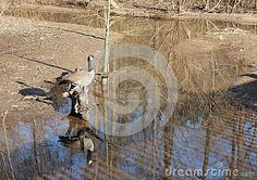 A Canadian goose rests on an old stump, reflected in the water with a winter scene as a backdrop. Branta canadensis