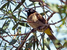 Especially in spring and autumn a regular guest in our gardens: Arap Bülbülü -- Pycnonotus xanthopygos -- Yellow-vented Bulbul