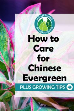 Learn the best tips and resources for how to care for your Chinese Evergreen plants. Discover how best to keep your Chinese Evergreen healthy and learn how to troubleshoot any issues that may arise with your Chinese Evergreen plant. House Plant Care, House Plants, Chinese Evergreen Plant, Types Of Houseplants, Fiddle Leaf Fig Tree, Care For All, Spider Plants, How To Find Out, Snack Recipes