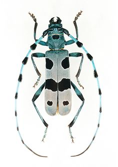 Tiger beetle, Rosalia alpina