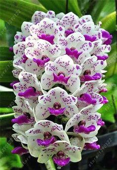 100pcs Cymbidium orchid, Cymbidium seeds bonsai flower seeds, 22 colors to choose, plant for home garden #vegetableseedsflower