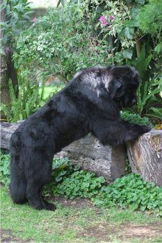 Huge Dogs, I Love Dogs, Most Beautiful Animals, Beautiful Dogs, Newfoundland Puppies, San Bernardo, Dogs And Puppies, Doggies, Large Dog Breeds