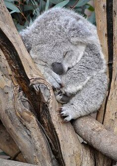 Sleeping koala at San Diego Zoo. Make sure you see the zoo on your next trip to the Town and Country Resort Hotel located in the Mission Valley area of San Diego!