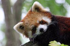 Sweet face!  Red Panda